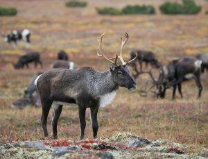 Photo de rennes l'animal, oui, c'est un jeu de mot stupide - source : https://pixabay.com/fr/photos/rennes-troupeau-p%C3%A2turage-2524820/